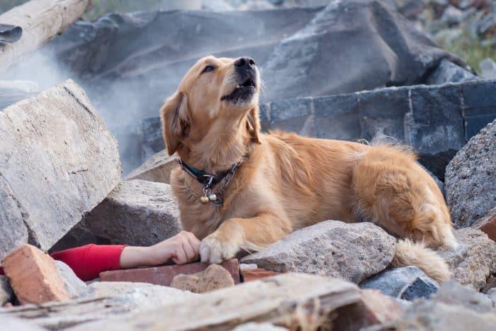 Earthquake search dog