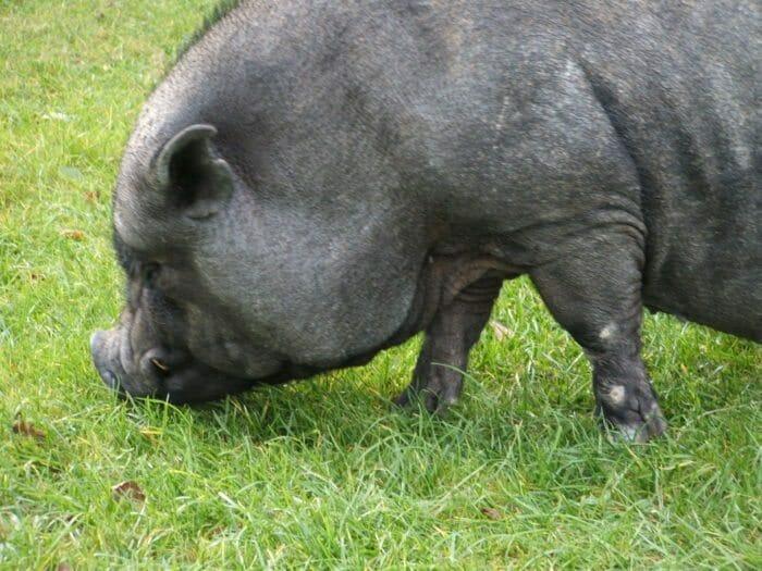 Pig named George