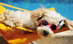 Pet with sunglasses