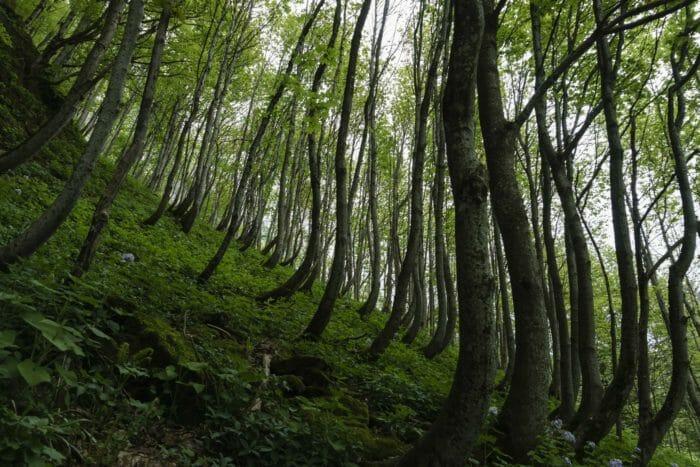 Slope creep evidenced by leaning trees dog leg shape