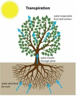 Tree transpiration and foundations